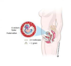 Graviditet-vecka-6