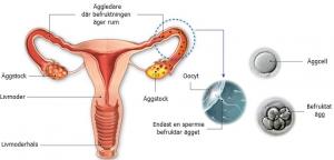 Gravid-Vecka-1-befruktning